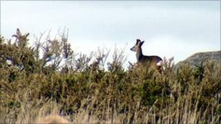 Deer at Tullos hill