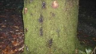 Tree infected with Phytophthora ramorum, or sudden oak death (Image: Forestry Commission)