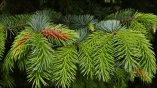 Branches from a Norway spruce