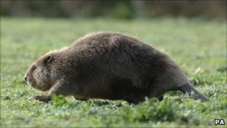 Beaver (generic)