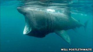A basking shark taken near Lamorna on a previous summer