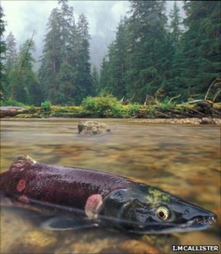 Sockeye salmon (Image: Ian McAllister)