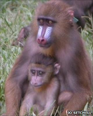 Baby mandrill with its mother