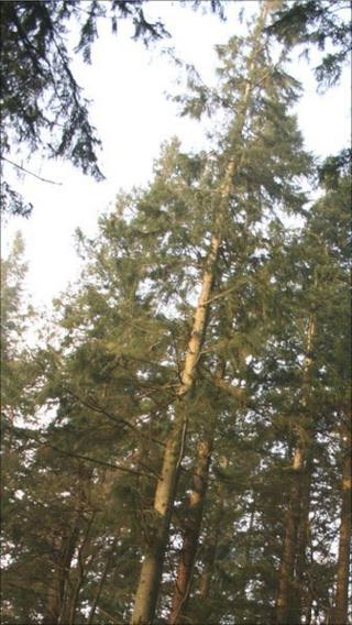 Wales' tallest tree