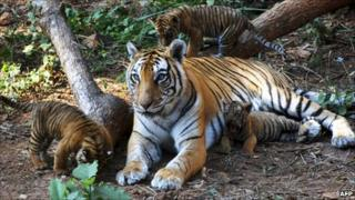 Tiger cubs play beside their mother at Assam State Zoo in Guwahati, India