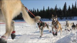 dogs in sled race