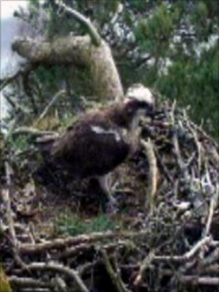 Loch of the Lowes Osprey
