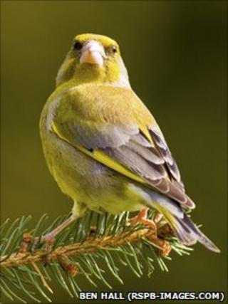 Greenfinch, Carduelis chloris, male perched on pine tree branch