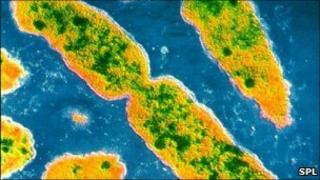 Serratia marcescens bacteria