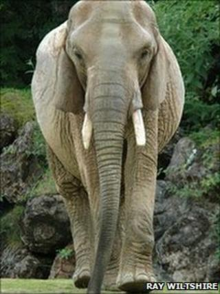 Duchess the African elephant