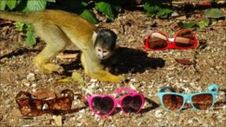 Bolivian squirrel monkey and sunglasses