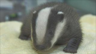 Bracken the badger cub