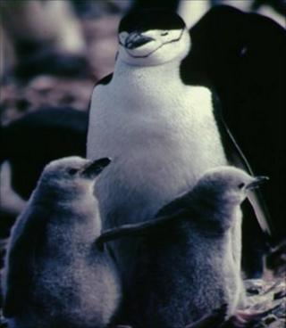 Chinstrap penguins (Image: BBC)