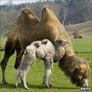 Mother camel Bhali with calf Lemmy