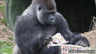 Ambam the gorilla