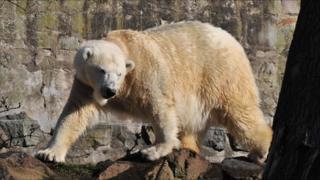 mercedes the polar bear