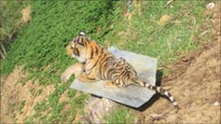 Stuffed tiger in Bhutan