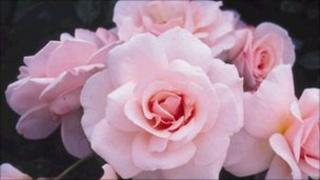 "The limited edition ""Catherine"" rose released in April 2011"