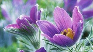 The Pasqueflower