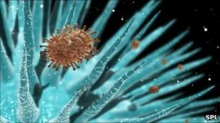 Flu virus in the airways of the lung