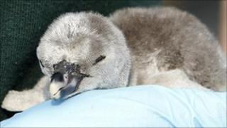 A Humboldt penguin chick hatched at Chester Zoo