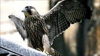 Peregrine falcon at Lincoln Cathedral