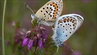 Silver studded blue butterflies (image: Stephen Lewis)