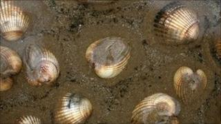 Cockles (generic)