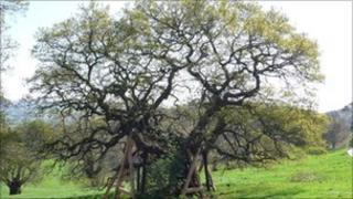 The Domesday oak tree