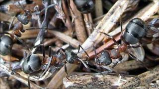 Hairy ants. Pic: NTS