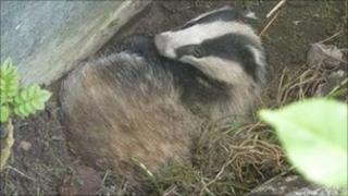 The badger stuck in the disused swimming pool