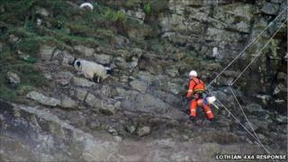Sheep being rescued from Dunglass near Strathblane