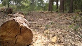 A felled tree at Sutton Heath