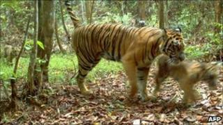 WWF image released on 9 May 2011 shows a rare Sumatran tiger with a cub in images recorded in March and April 2011 in Bukit Tigapuluh in Indonesia's eastern Sumatra