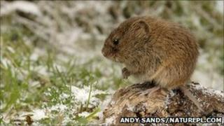 Field vole. Pic: Andy Sands/naturepl.com