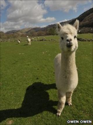 Alpaca. Pic: Owen Owen