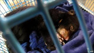 A baby bear sleeps in a cage after it was seized by Thai police at a Bangkok airport