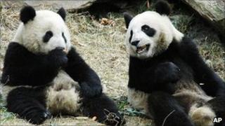 Two pandas in Wolong Giant Panda Research Centre in southwest China's Sichuan Province