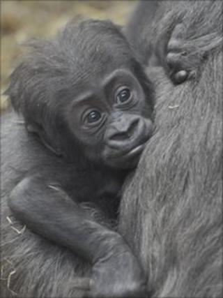 Tiny the gorilla