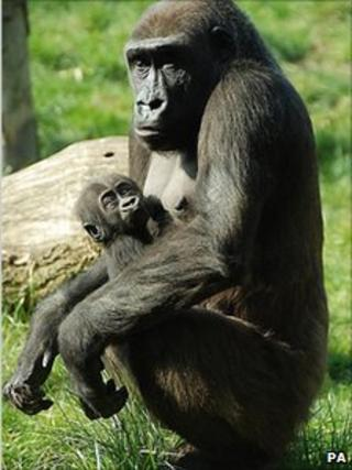 Tiny, a baby western lowland gorilla, with his mother Mjukuu
