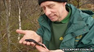 Senior ranger John Rowland with a Great Crested Newt