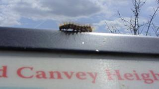 A brown tail moth caterpillar on a notice board at Canvey Heights Country Park