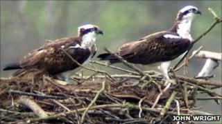Osprey 08 (right) and Osprey 5N (left) nesting at Rutland Water