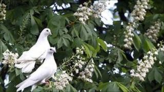 Pigeons sit on a blossoming chestnut tree in Kiev, Ukraine, file pic from 14 May 2011