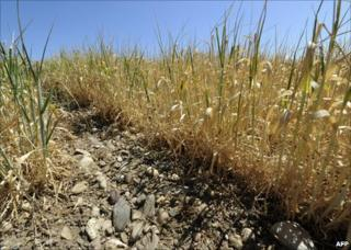 A dry wheatfield by the French village of Grenay, near Lyon, 18 May
