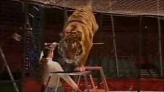 Great British Circus tiger