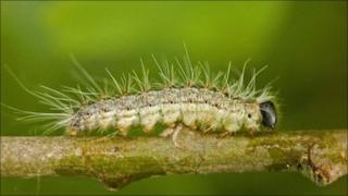 The oak processionary moth caterpillar