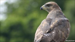 A buzzard - copyright of Wildstock