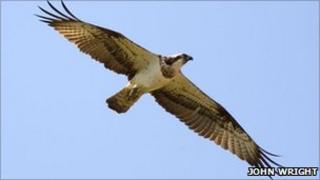 Female osprey 5N (Rutland Osprey Project)