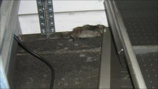 Rat in Pooja Caterers' warehouse
